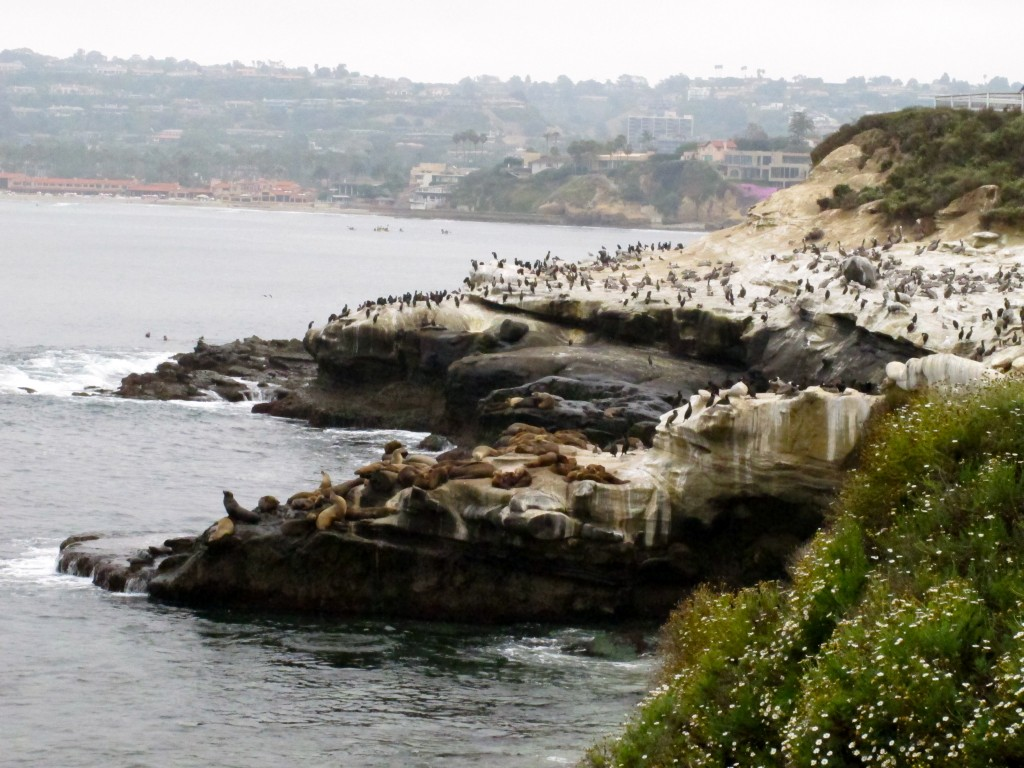 La Jolla Cove's sea lions